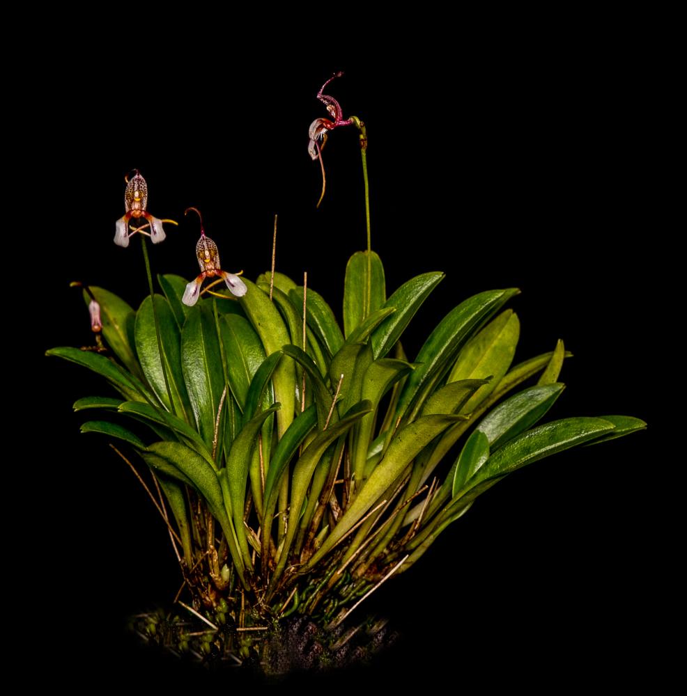 orchid reintroduction